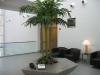 Interior containerized palm tree