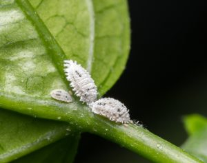 Mealy Bug Identification